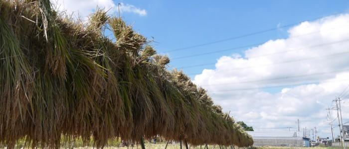 漢方農法米の収穫体験