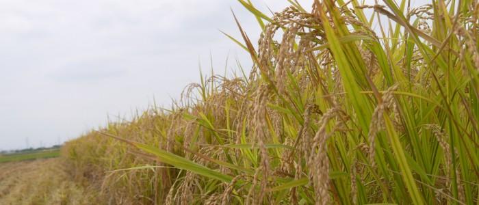 2014年 誠農社農業体験(稲刈り)ご協力をさせていただきました